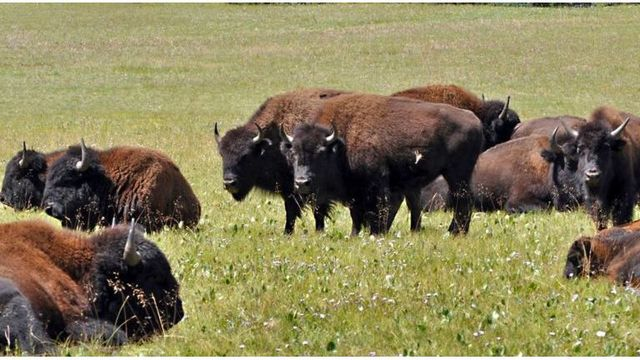 Wanted: Volunteer Shooters to Thin Grand Canyon Bison Herd