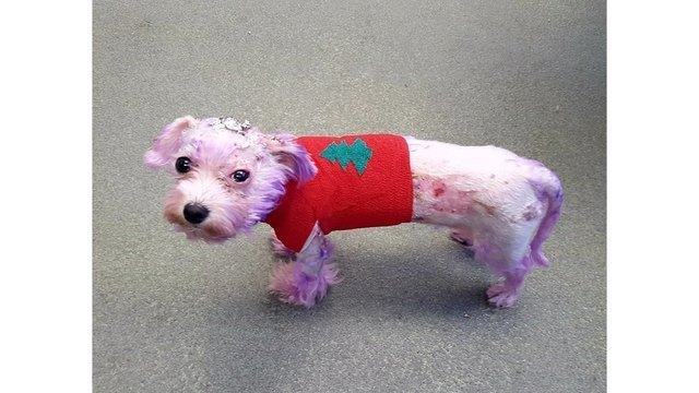 Dog named Violet almost dies from burns caused by hair dye - WTRF