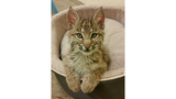 Oglebay Good Zoo to offer unique encounter with rescued bobcat kittens
